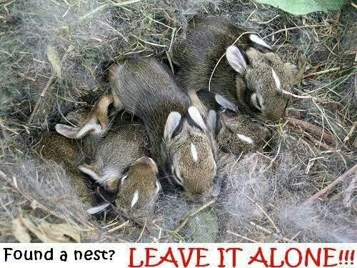 what does a wild rabbit nest look like