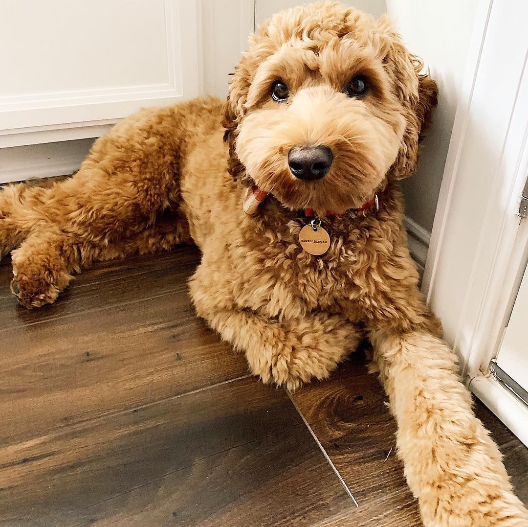 Pin By Iona Janet On Dogs Puppies In 2020 Australian Labradoodle Puppies Labradoodle Puppy Baby Puppies