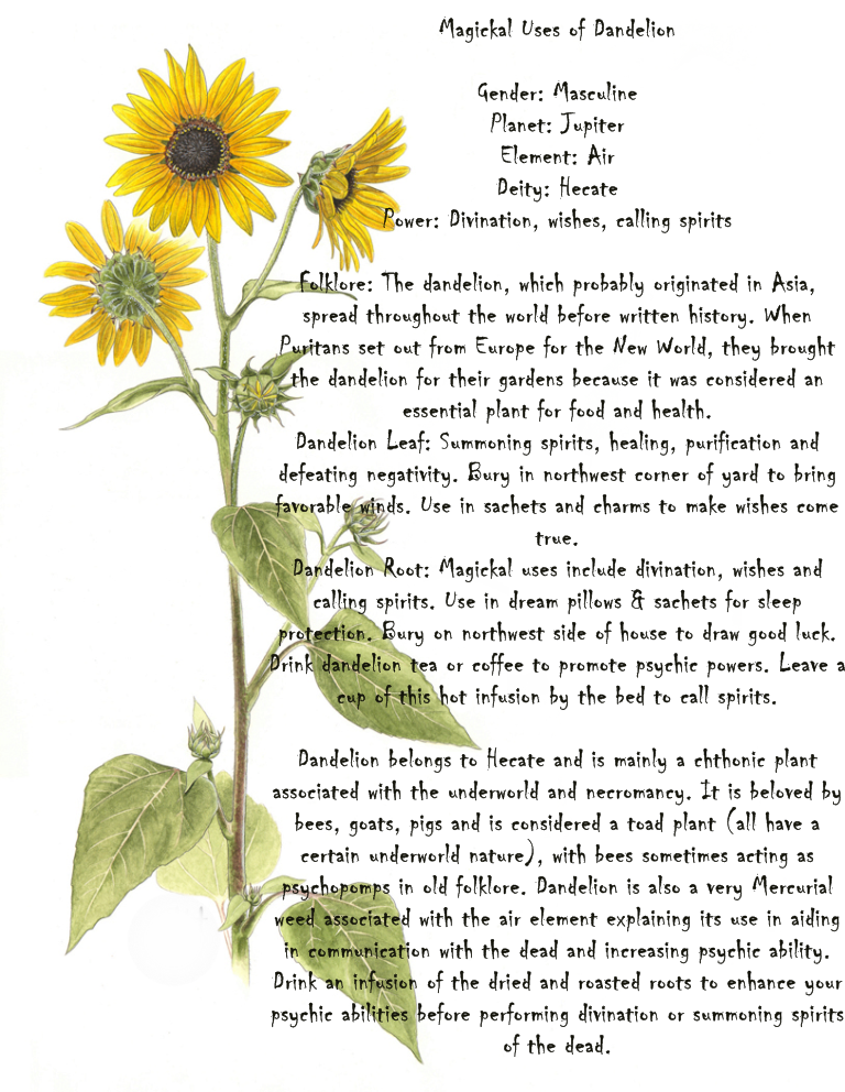 Magickal Uses Of Dandelion Magick Witch Magic Witchcraft