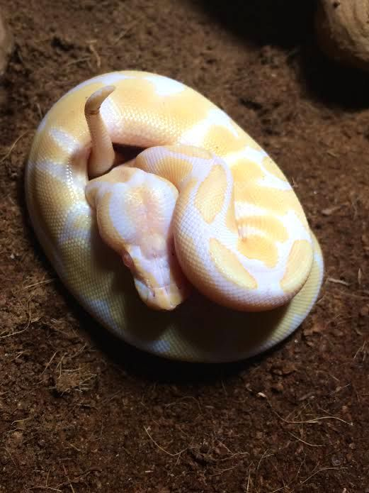 High contrast Albino ball python produced by Reptile Rapture
