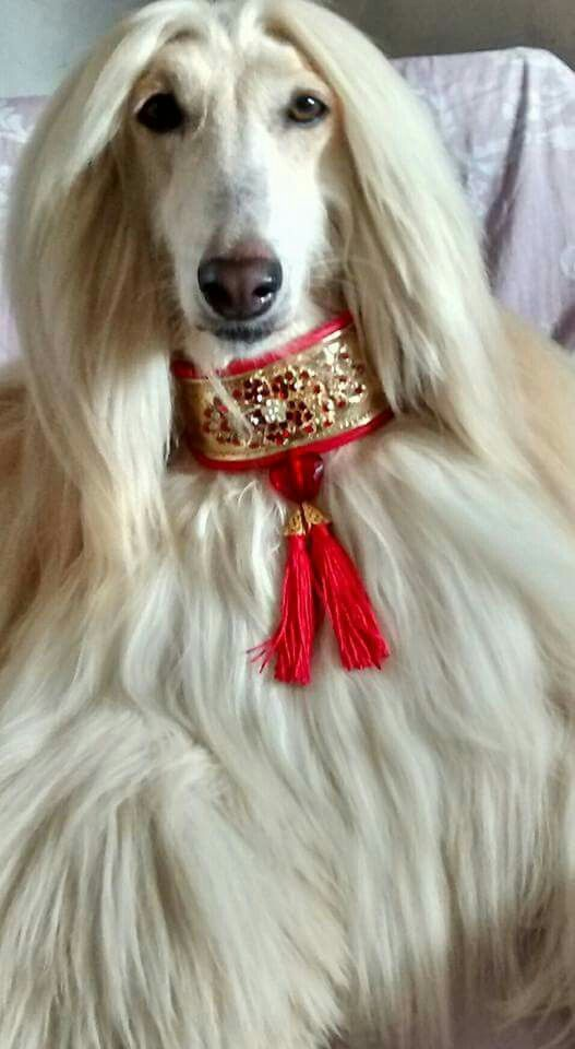 Afghan Hound Looking Regal In A Jeweled Collar Note This Wide