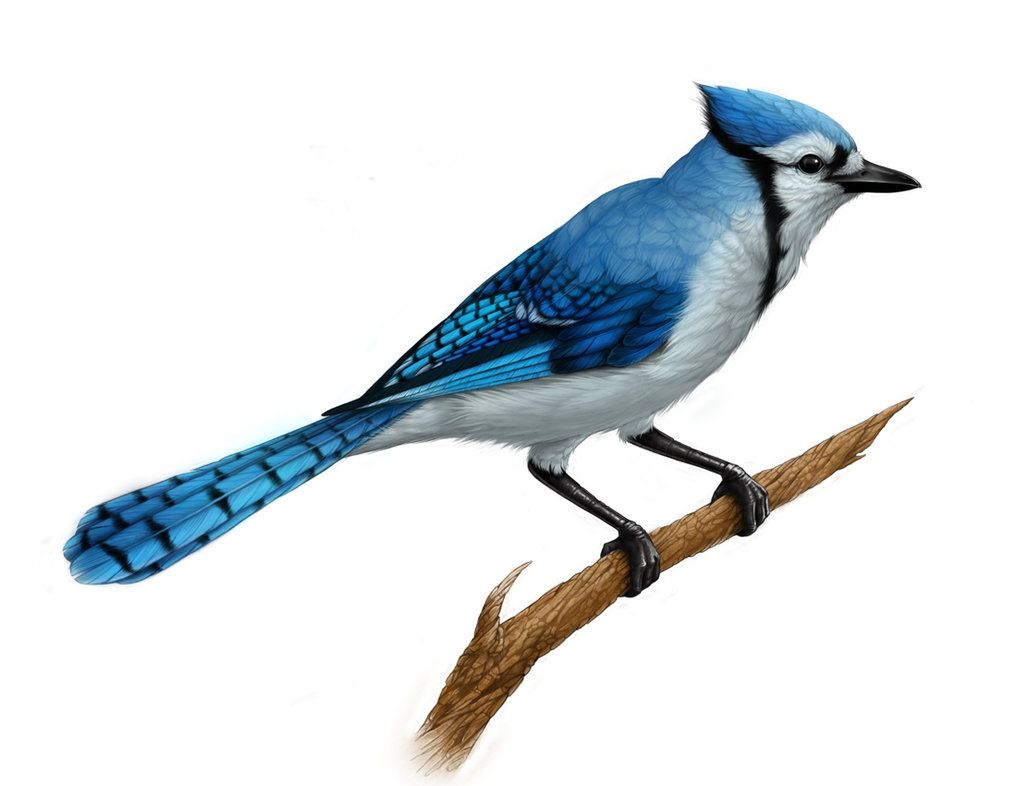 BLUE JAY DANCE: PRESCHOOL STORY/ ART (Monday, August 1): Preschool naturalists join us to share a story, hop and soar lik… | Blue jay, Blue jay art, Blue jay tattoo