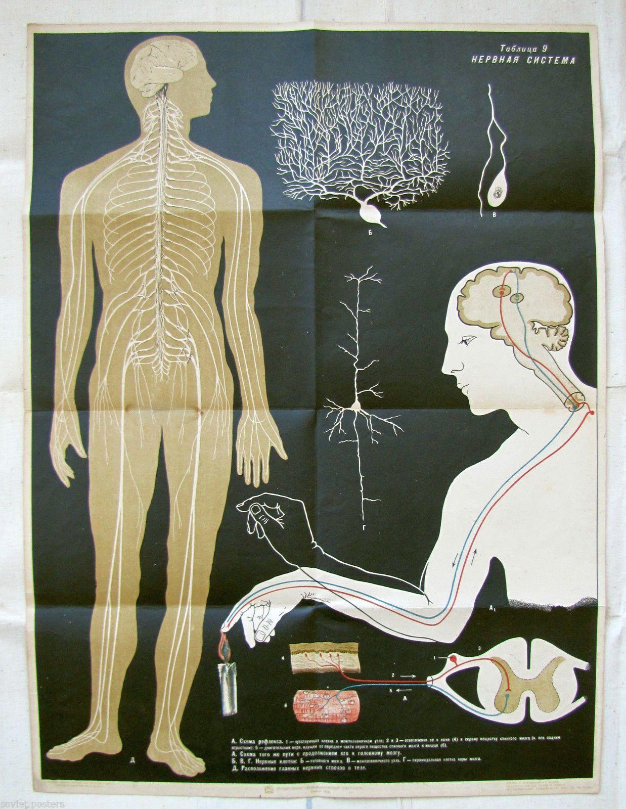 Vintage Antiguo Cartel médico anatomía educativo ruso sistema nervioso humano | eBay