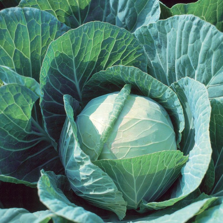 Farao fresh market cabbage cabbage seeds container