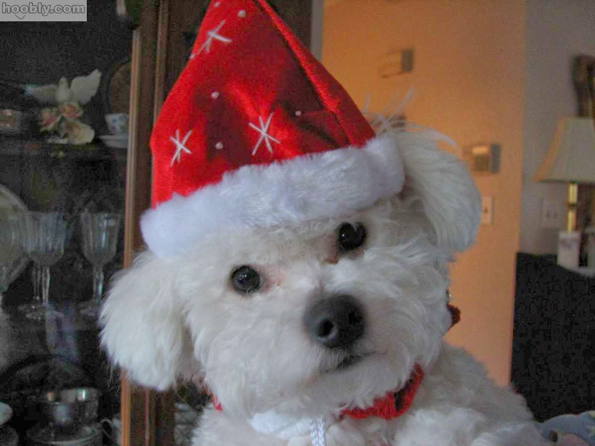 BICHON FRISÉ DOG IN THE NEW YEAR HAT Bichon frise dogs