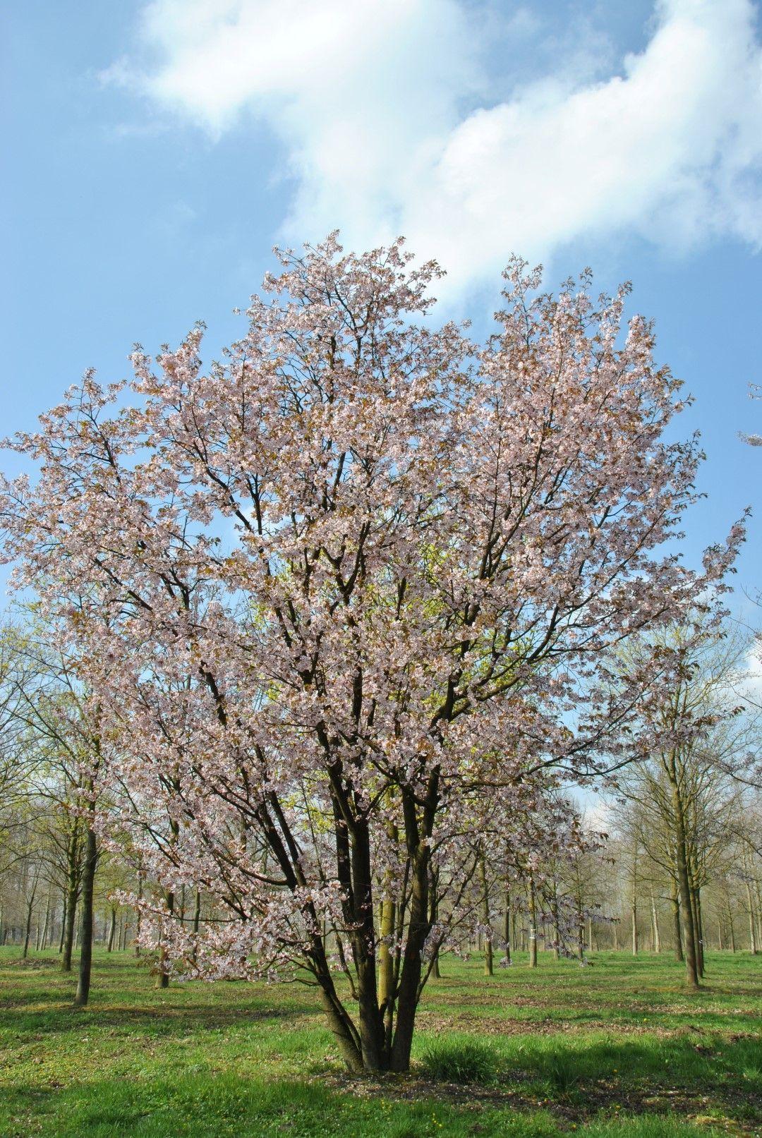 Prunus Sargentii Is Een Zeer Mooie Boom Met Een Breed Vaasvormige
