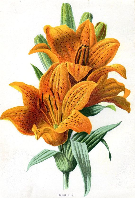 1887 Antique Orange Lily   Botanical Print Lithograph Vintage Flower Home Decor