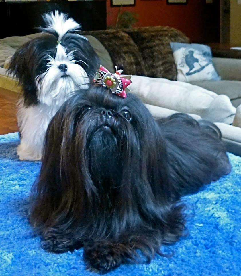 Luan Shih Tzu Shihtzu Shih Tzu Shih Tzu Dog Shih Tzu Cute Dogs