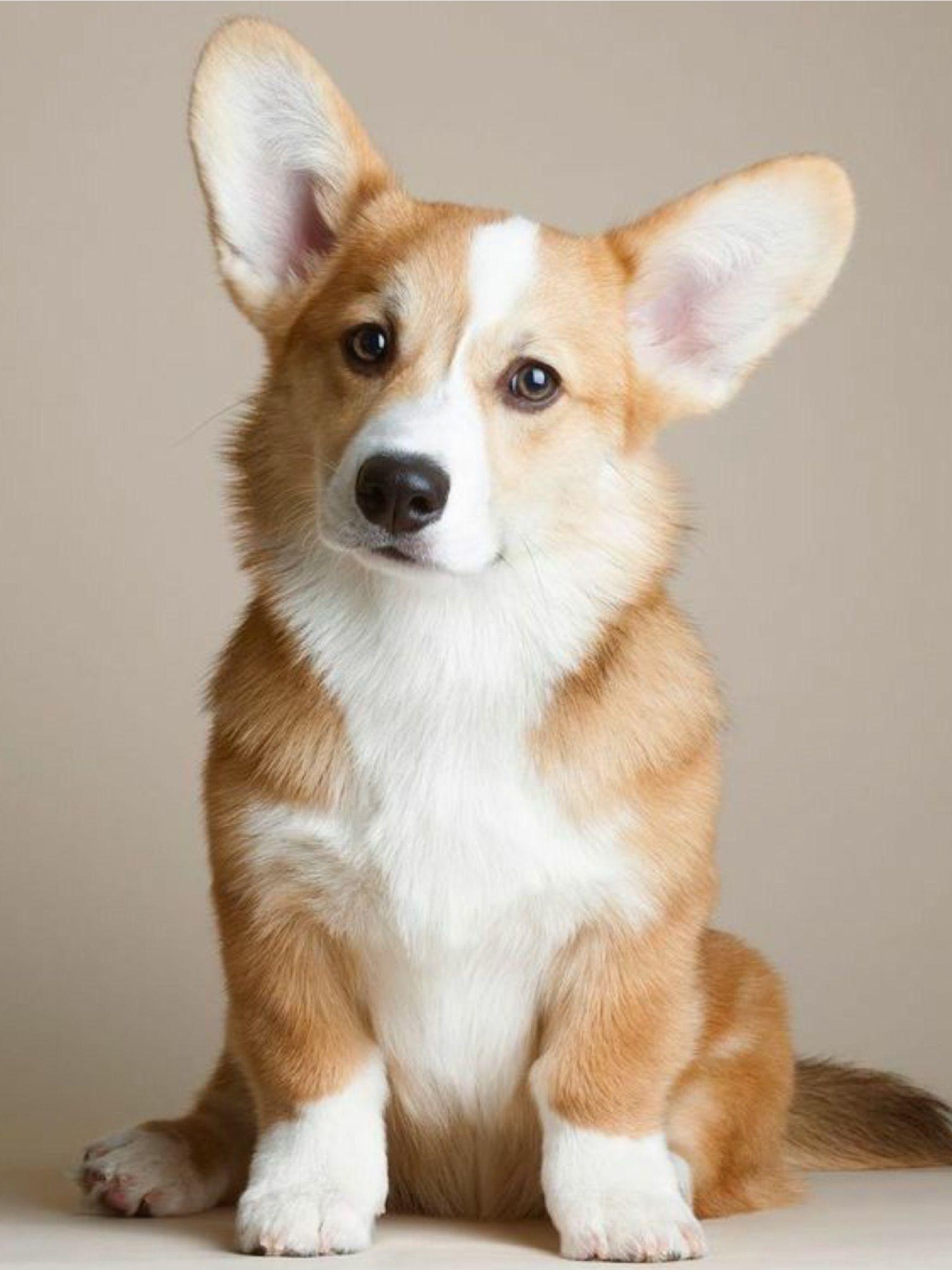 Pin By Debra Cancelliere On Animals Cuddly Corgis Corgi Animals Corgi Dog