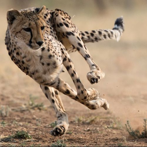 The fastest land mammal on the planet. Help them. YOU are the difference. Here's the link. http://cheetah.org/about-the-cheetah/race-for-survival/