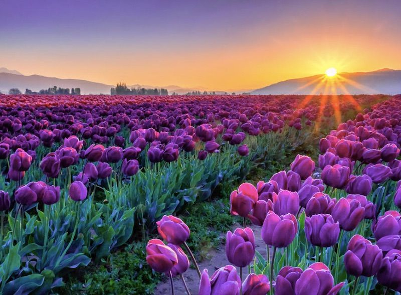 Spring Flowers Tulips Field Sunrise Grass Clouds: Most Splendid Farms That You Must Visit----Skagit Valley