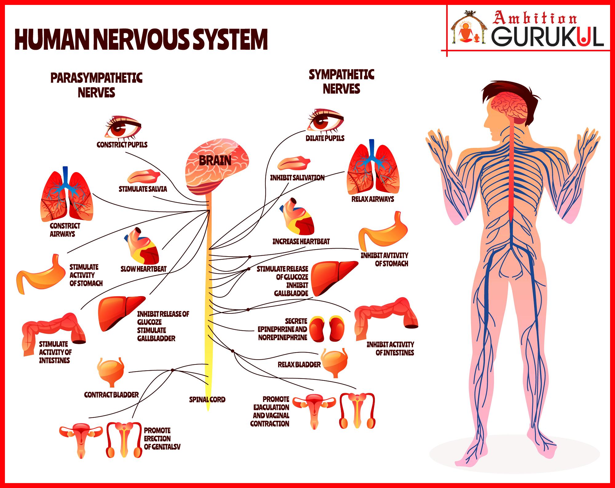 Human Nervous System Human Nervous System Nervous System Cartoon Design