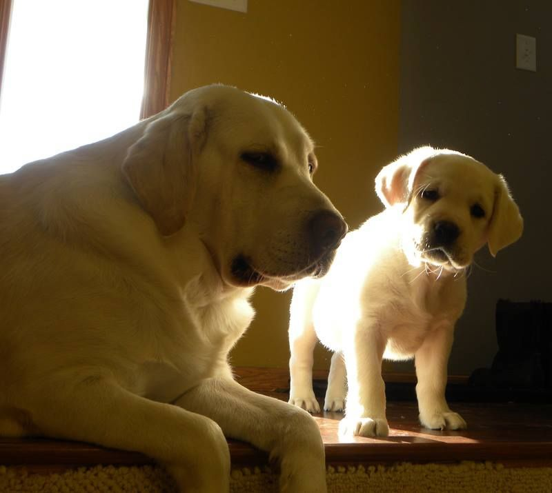 Lovely And So Sweet Lab Puppies White Labrador Puppy