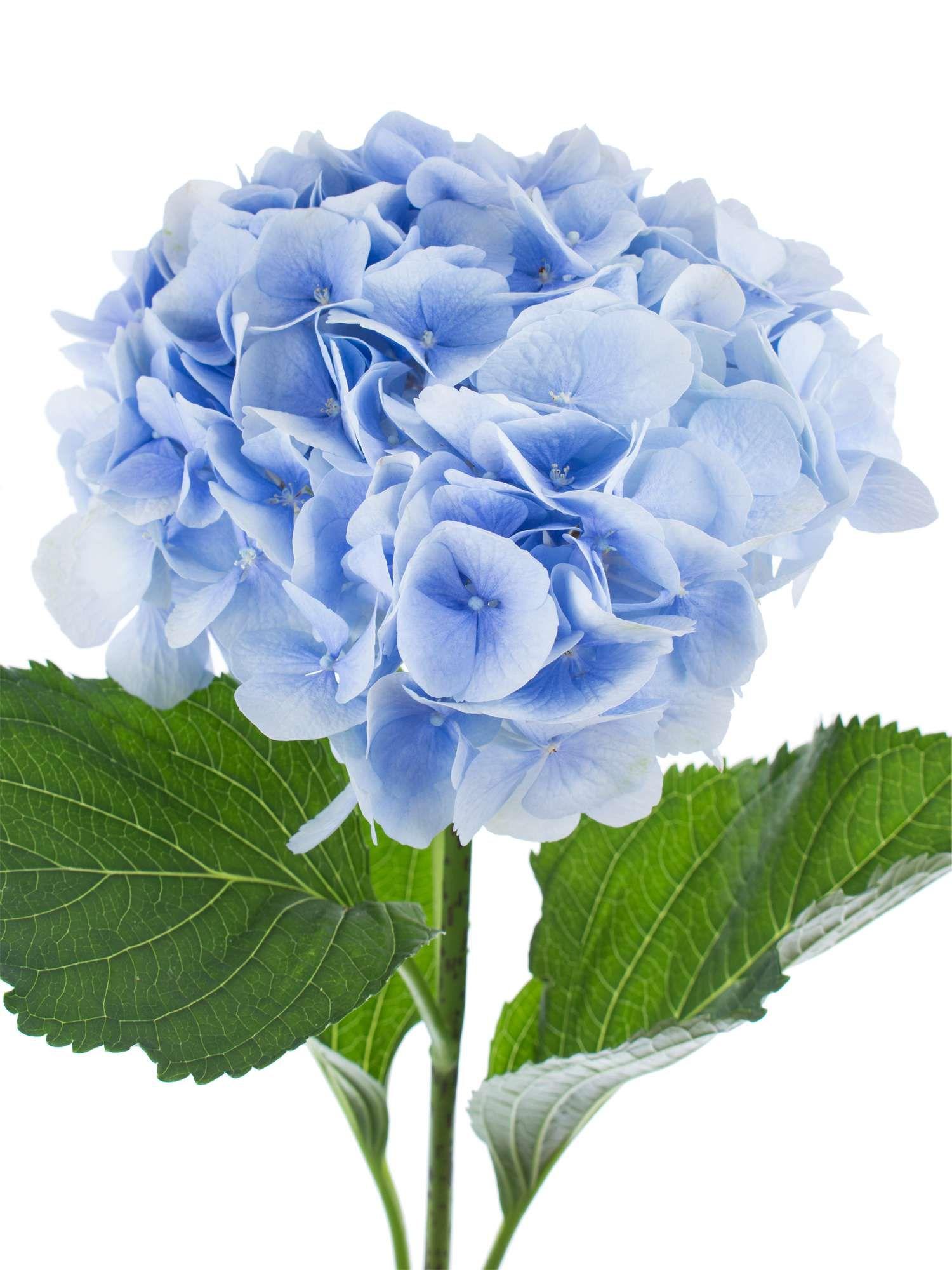 Hortensie Verena blau hell blau  Hochzeit  Blau