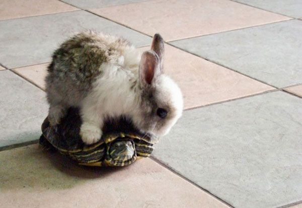 A rabbit. on a turtle.