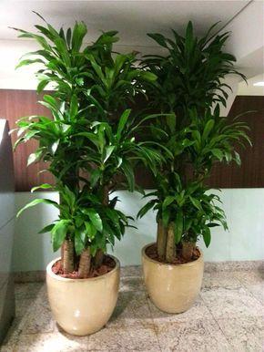 Pau dagua - Dracaena fragrans   My Secret Garden/ Green house ...