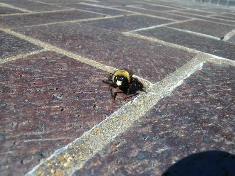 Carpenter Bees Sting Carpenter bees sting, Carpenter bee