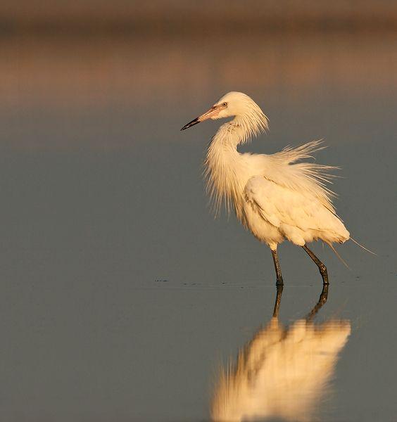 Reddish Egret (Florida, USA)