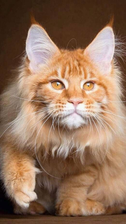 Pin On Cats Main Coon