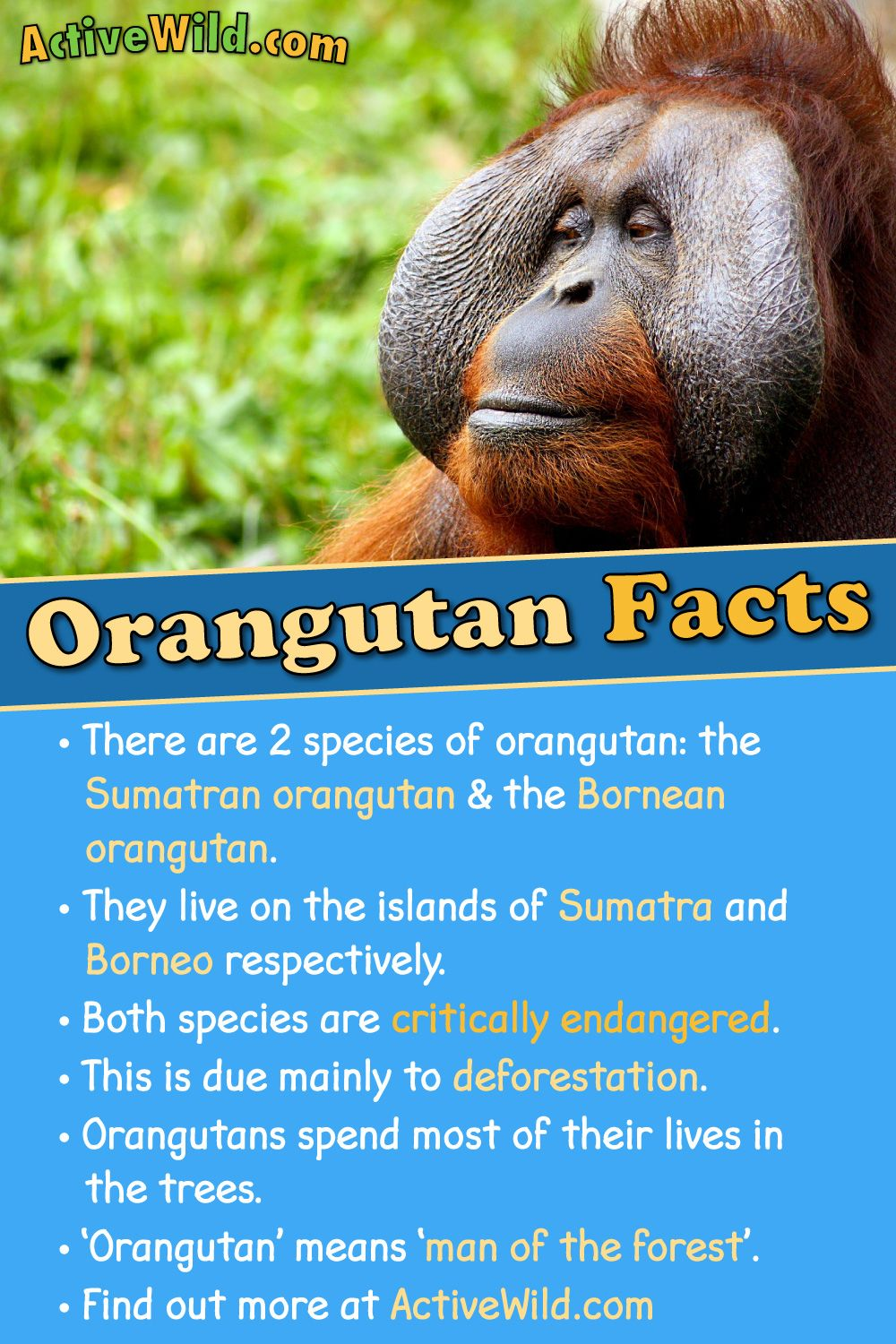Orangutan Facts, Pictures, Video & Information. Discover A
