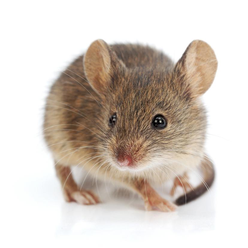 効果的なネズミの駆除方法5選 タスクル ハツカネズミ 可愛すぎる動物 ペット用品