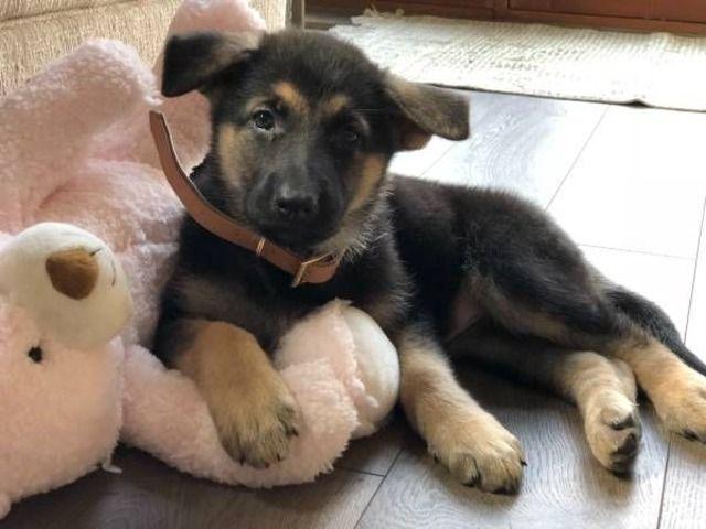 Akcgermanshepherdpuppies Puppy Love Akc German Shepherd