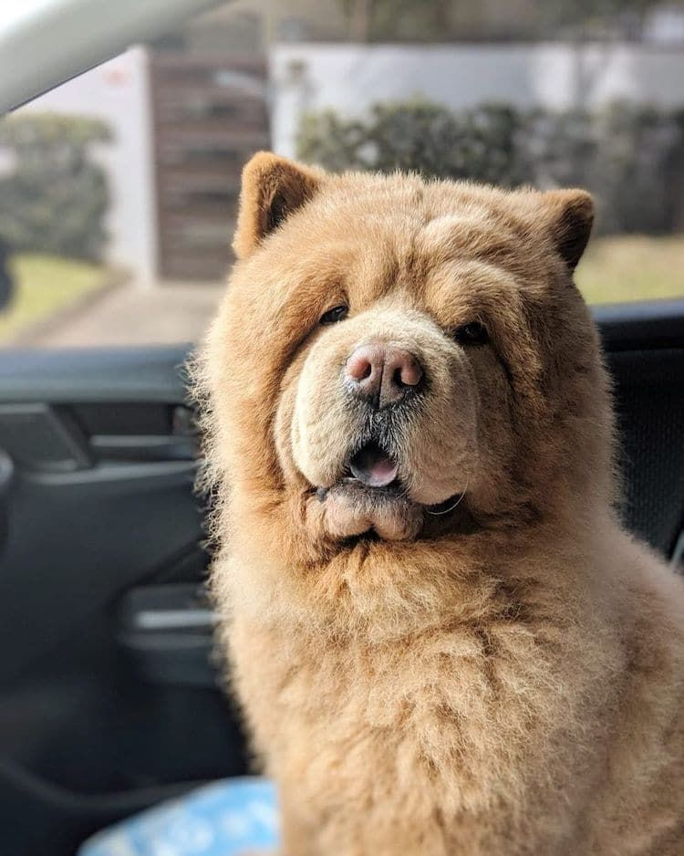 Este Esponjoso Perro Chow Chow Parece Un Enorme Oso De Peluche Que
