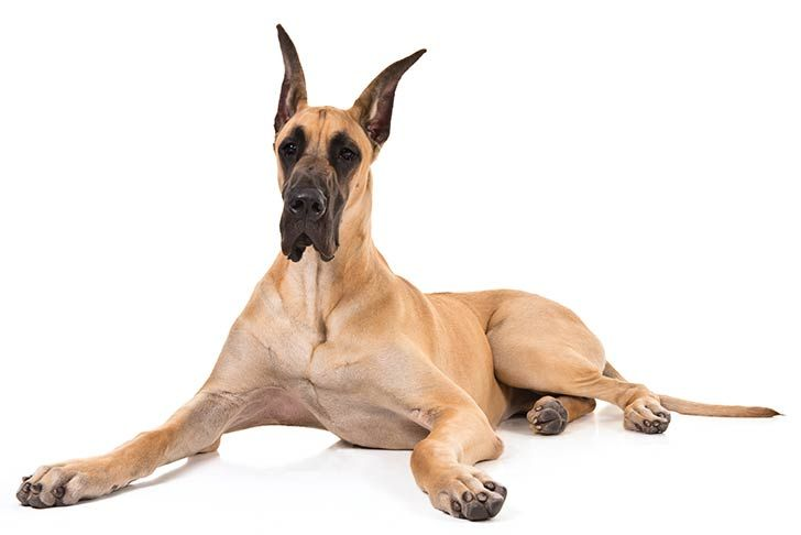 Great Dane Dog Breed Information Dogs Great Dane Dogs Dogs