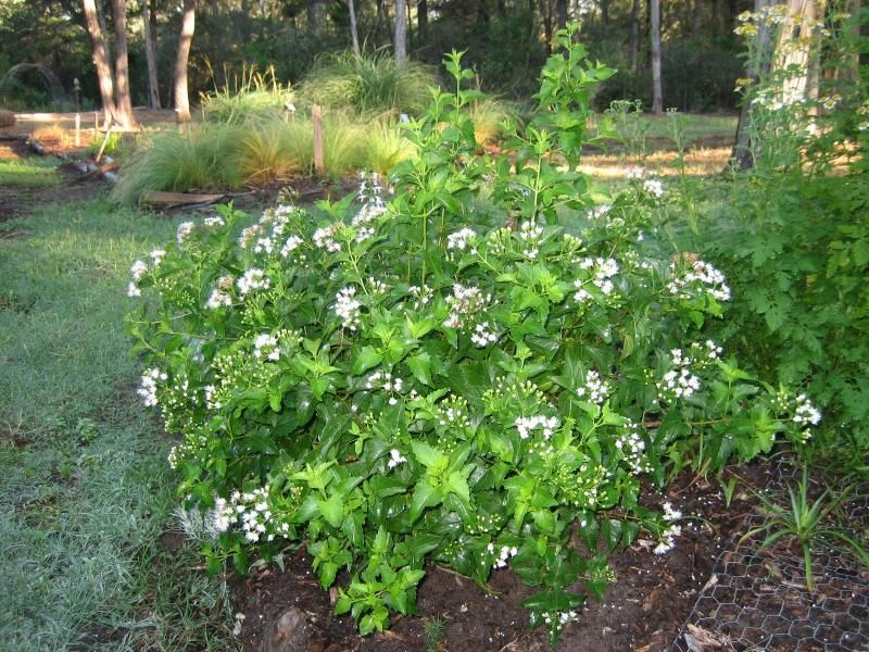 White mistflower is a solid choice in any texas native plants white mistflower is a solid choice in any texas native plants xeriscape this shrub is a low hassle option that will work great both in full sun and part mightylinksfo