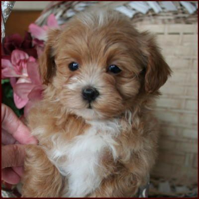 Maltipoo Puppy 4 Sale Maltepoo Maltese Poodle Puppies Iowa