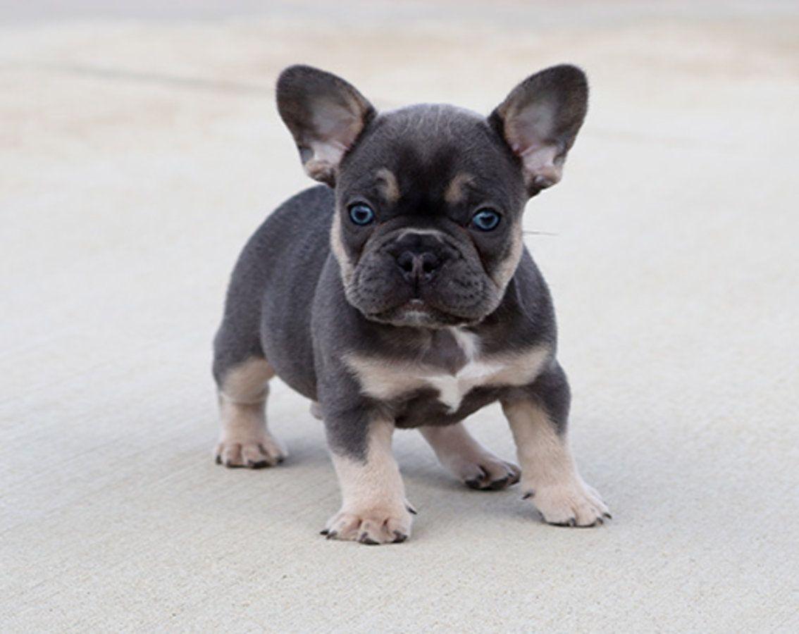 Akc Blue Tri Merle Carrier French Bulldog Puppy Boy Howi In 2020