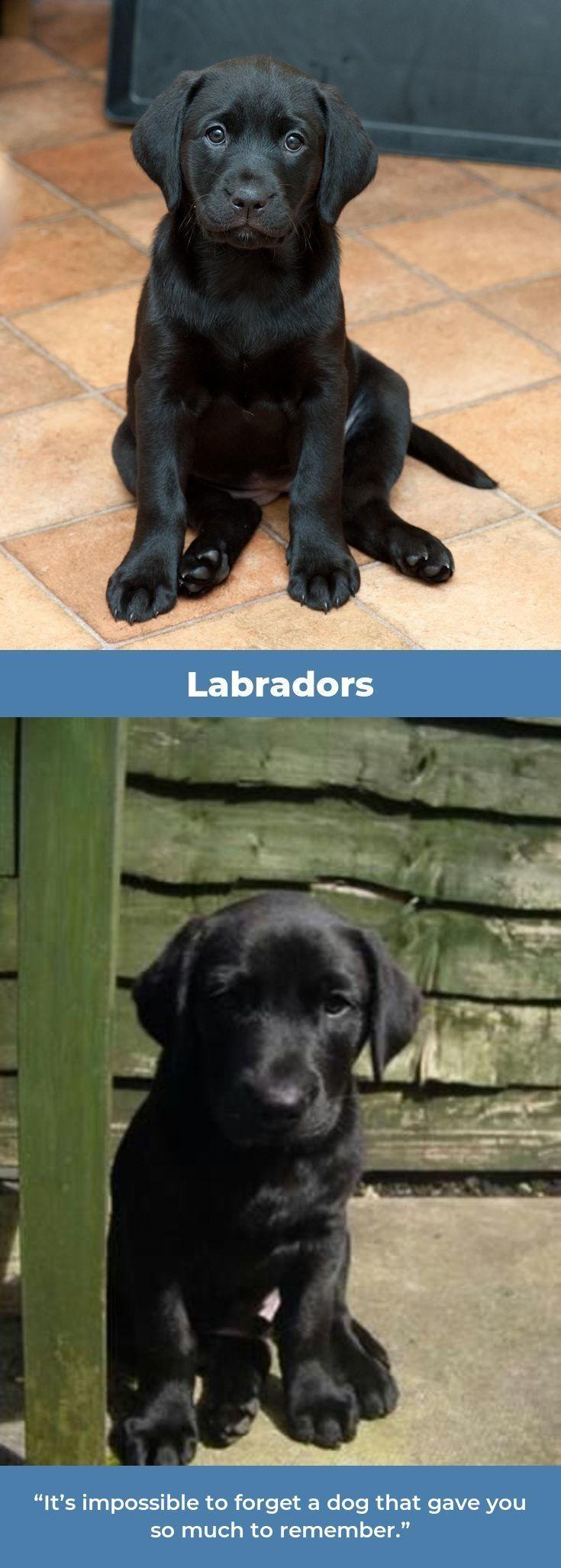 Lab retrievers puppy labradorlover labradorretriever