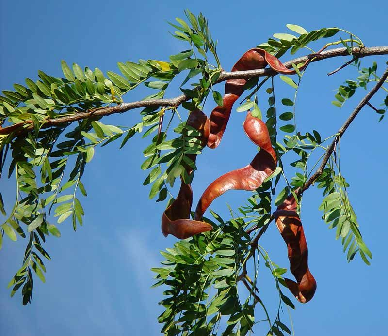 Permaculture Plants Honey Locust Temperate Climate Permaculture