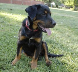 Lilly Is An Adoptable Rottweiler Dog In Indianapolis In Meet