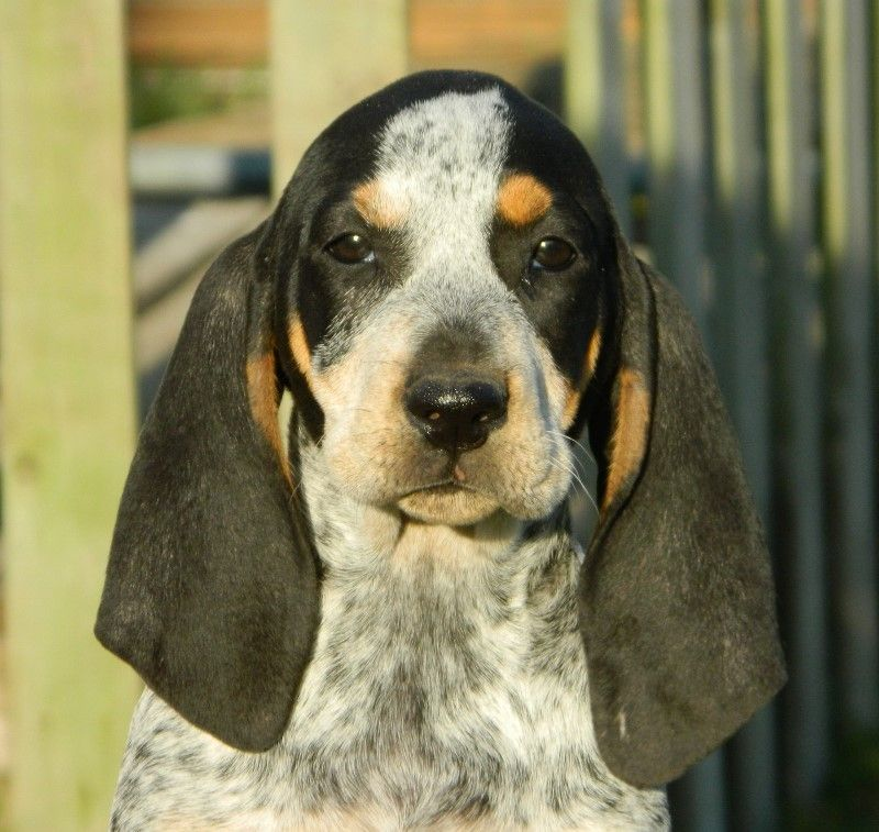Black And Tan Coonhound Photo Coonhounds Black And Tan
