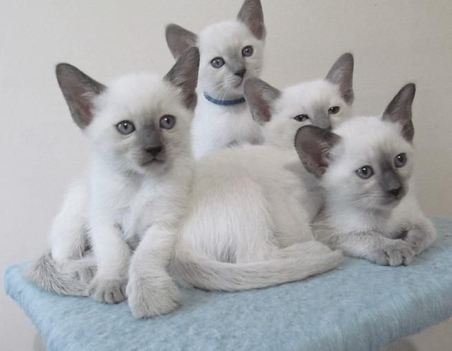 Siamese Kittens in Waterford Michigan Siamese kittens
