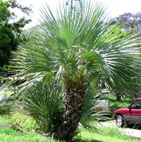 Mazari Palm Tree Zone 6 5 Deg F