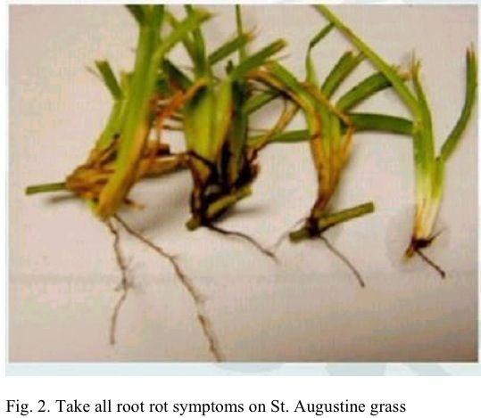 Take All Root Rot Symptoms On St Augustine Grass Appear As Diseased Patches Of Turf During Late Spring Throughout The Summer Plants Grass St Augustine Grass