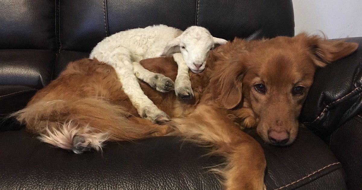 Lonely Lamb Decides Family S Dog Is His New Mom Nova Scotia Duck Tolling Retriever Dogs Retriever