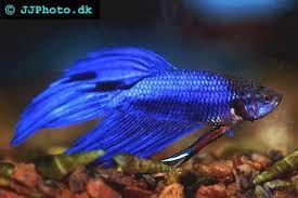 Bildresultat för akvariefiskar