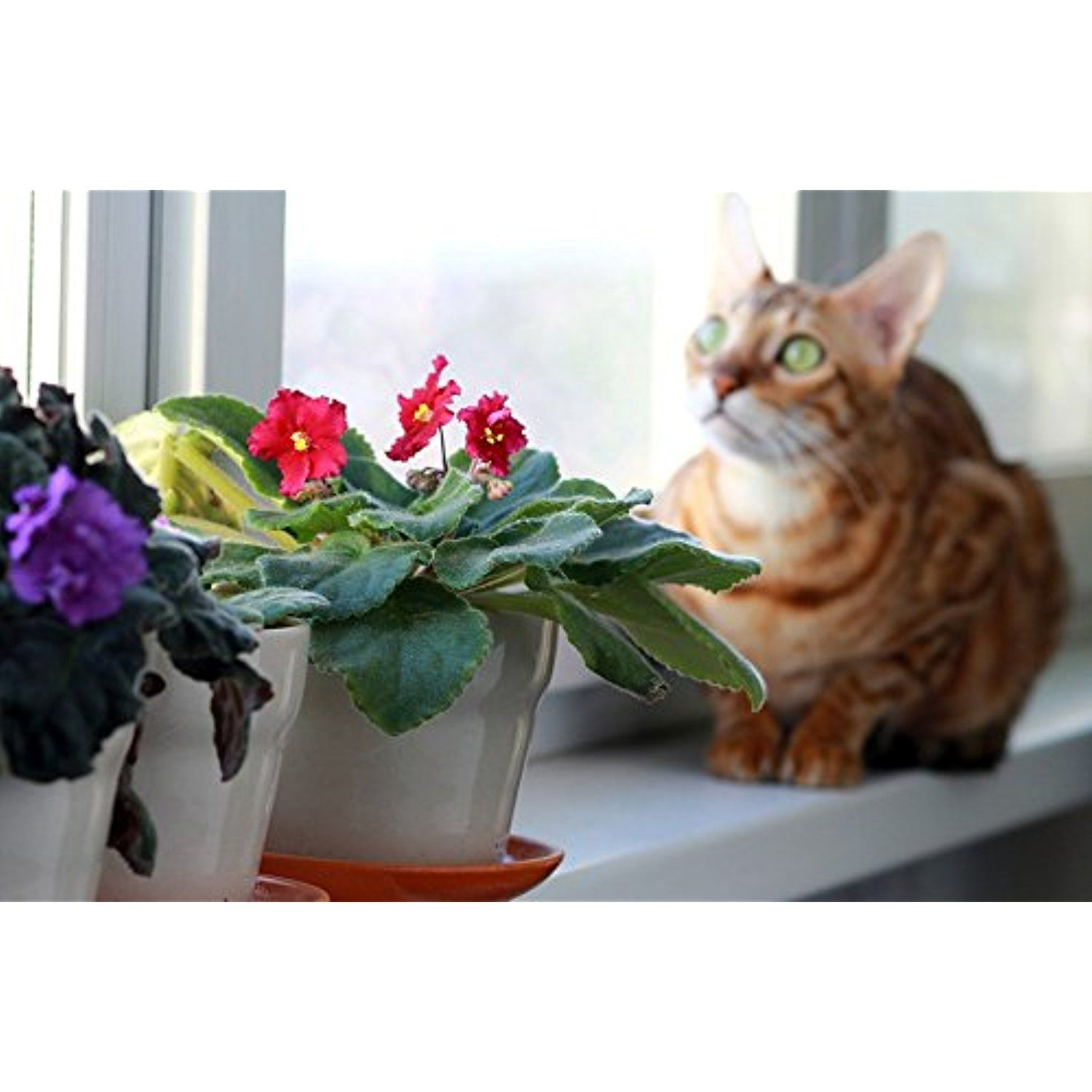 Laminated Poster On The Windowsill Bengali Cat Breed Window Pet Print 24 X 36 Find Out More About Great Product At Image Link
