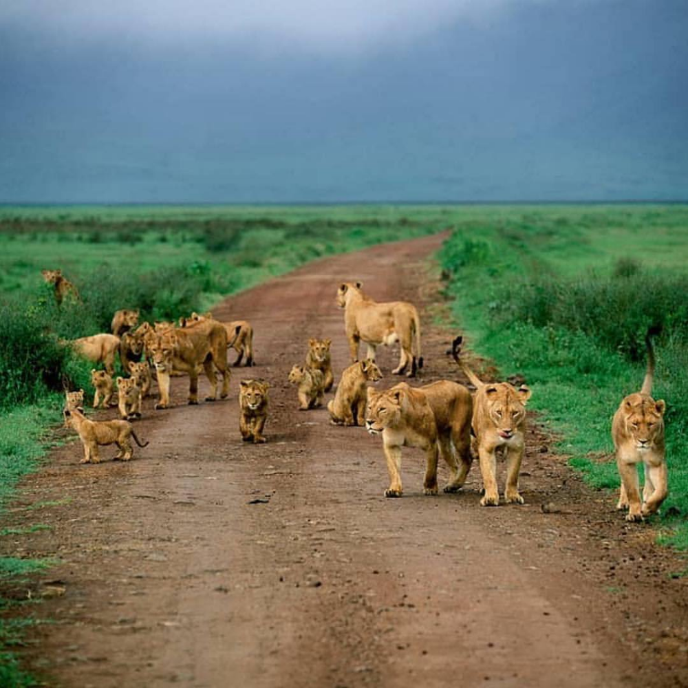 Lionesses and Their Babies on the Go. Majestic animals