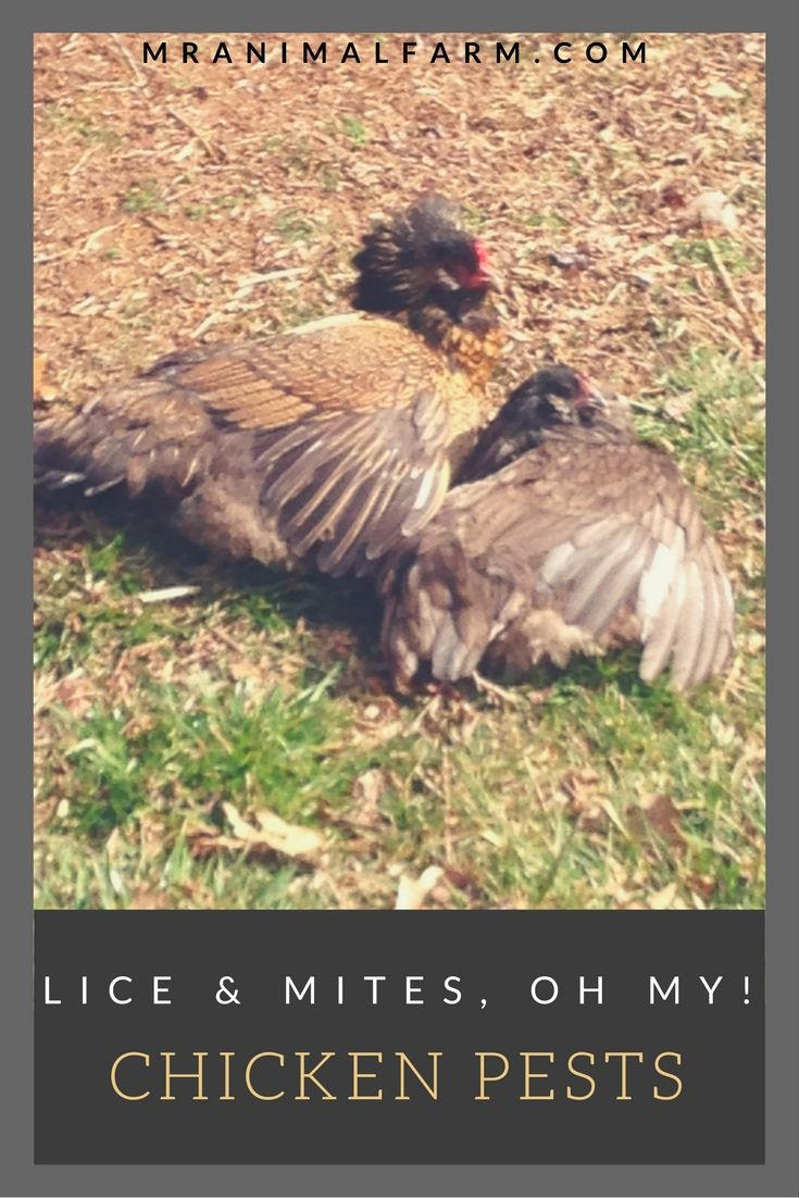 3 Ways To Get Rid Of Chicken Mites Fast And Stop Their Return Urban Chicken Farming Chickens Backyard Raising Chickens