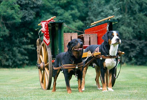 Greater Swiss Mountain Dog Compared To A Rottweiler Gorgeous Dogs