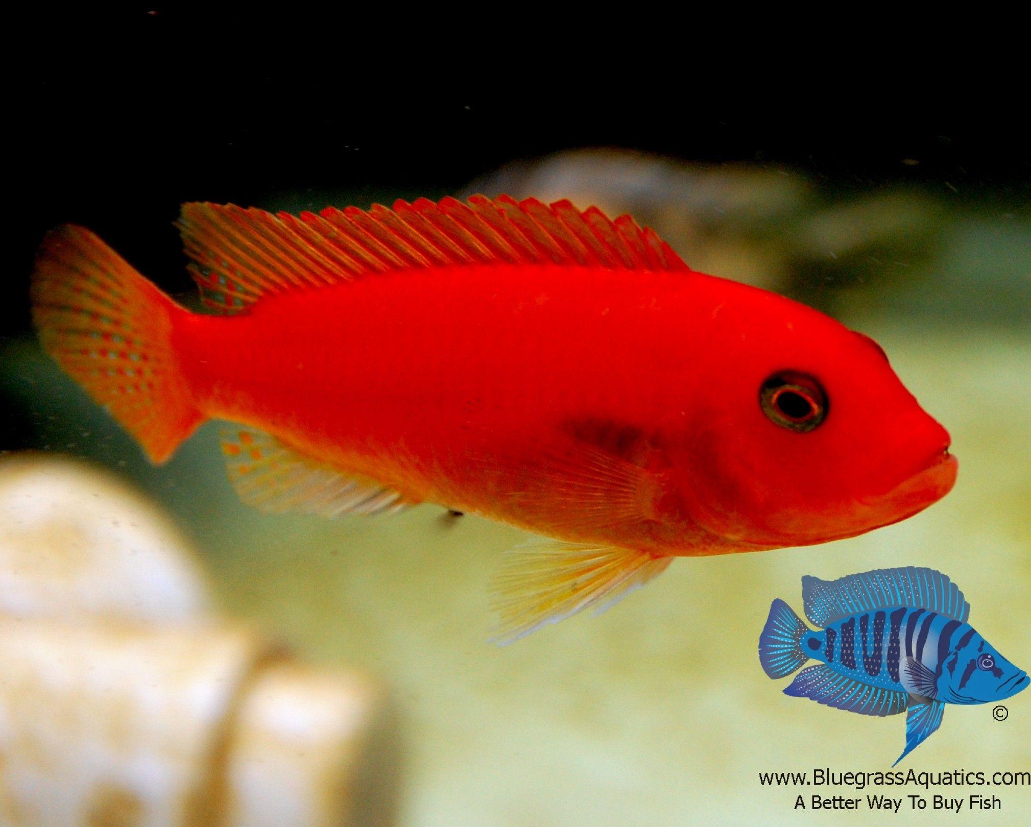 Fish aquarium information - Pseudotropheus Sp Red Zebra Cherry Red Regular