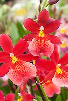 Burrageara Nelly Isler orchid hybrid | Plant & Flower Stock Photography: GardenPhotos.com
