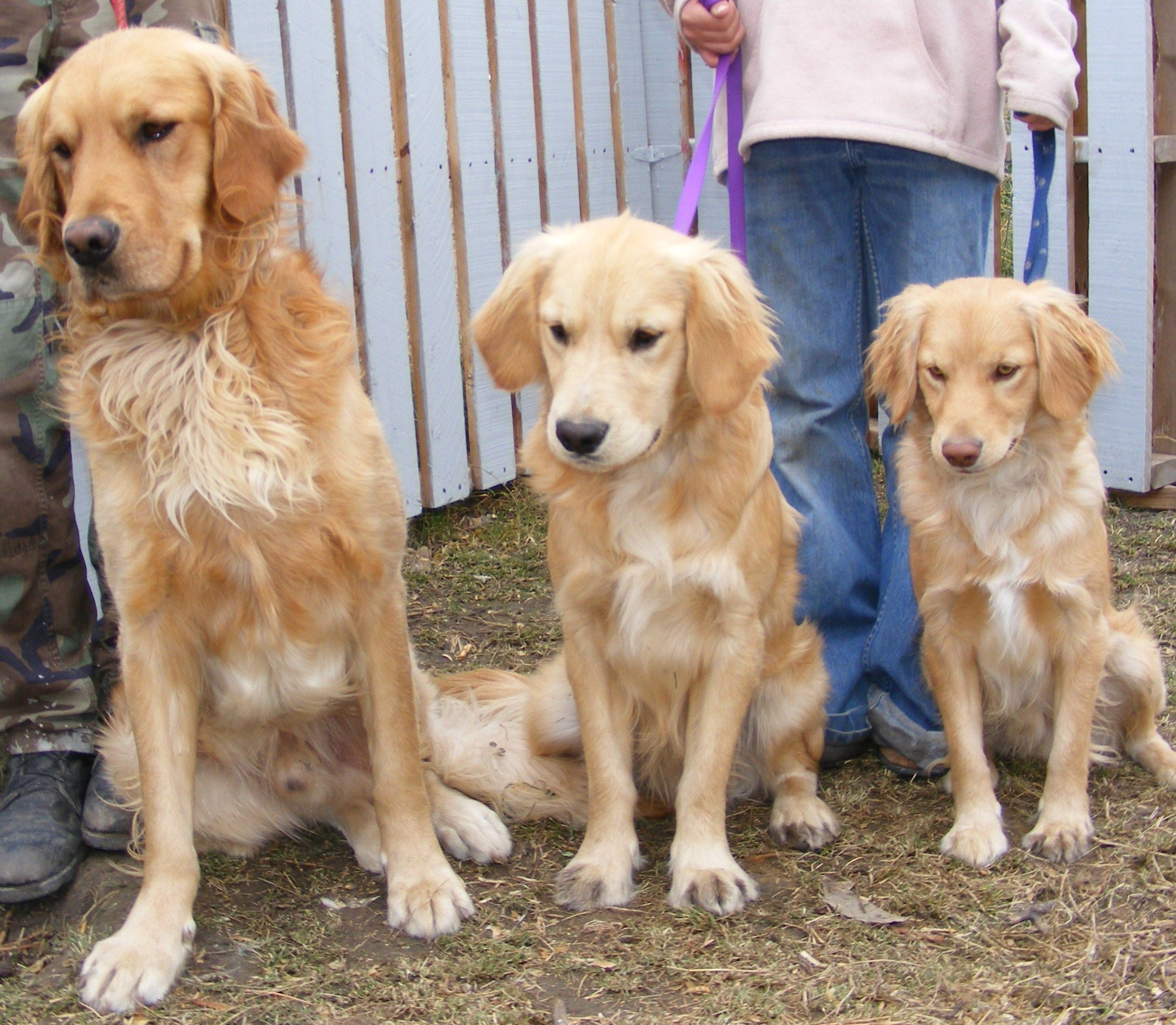 I want the MINI golden retriever to the right a