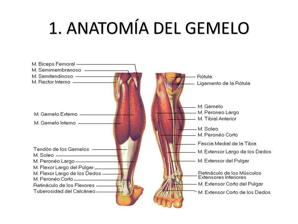 Asombroso Peroneo Largo Del Dedo Gordo Anatomía Ornamento - Anatomía ...