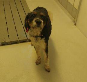 Animal Id T36829208 R Nspecies Tdog R Nbreed Tretriever Labrador Mix R Nage T3 Years R Ngender Tmale R Nsize Tmedium R Ncolor Tbrown White R Nsit Hunde