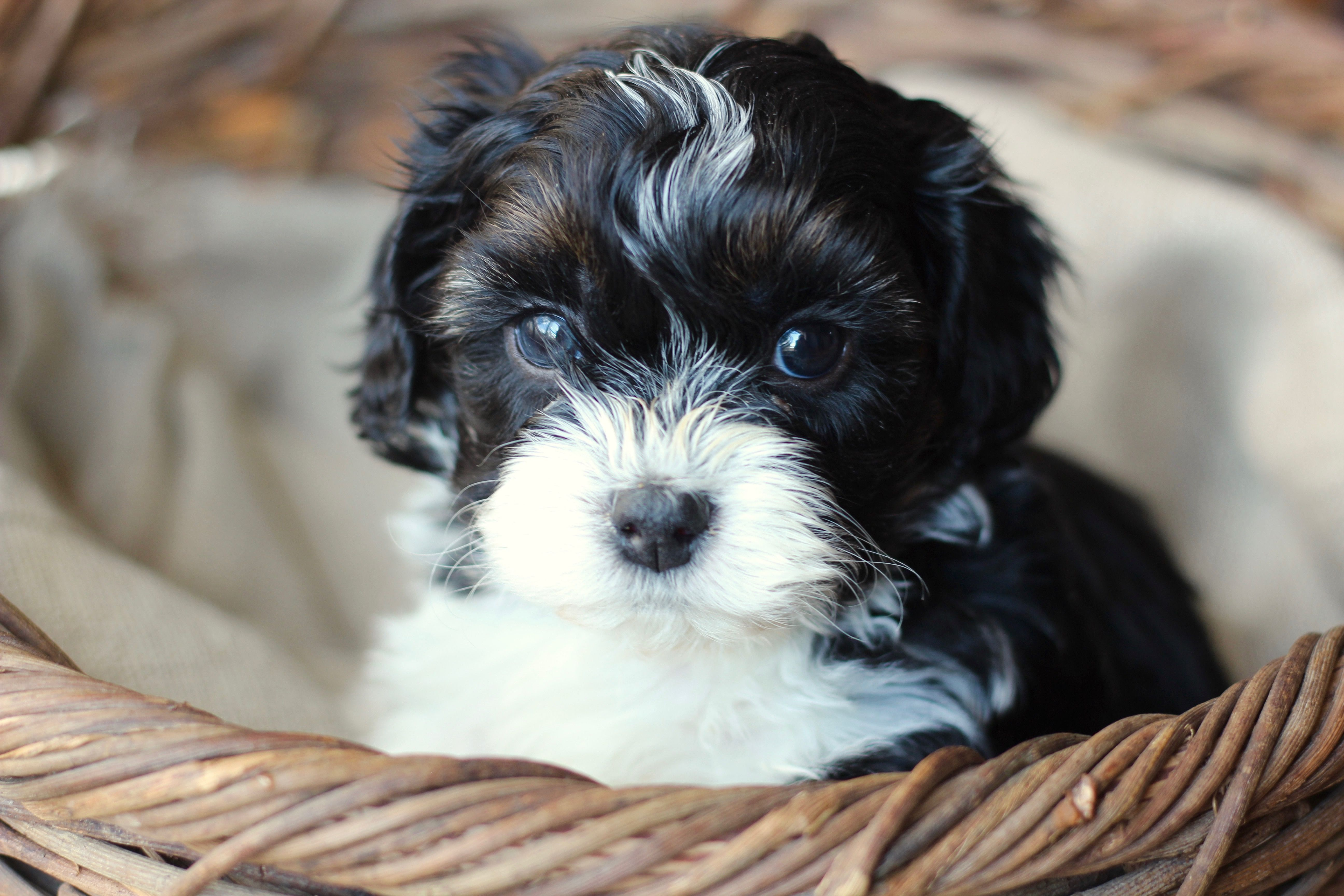 Baby Barks Bichon Shih Tzu Breeder Shichon Zuchon Puppies For